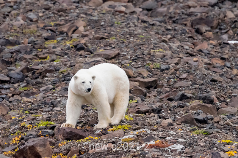 Polar bear on rocky terrain with late summer vegetation, Vikingebugt Inlet, Scoresby Sund, Greenland