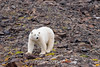 Polar bear on rocky terrain with late summer vegetation, Vikingebugt Inlet, Scoresby Sund, Greenland
