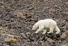 Polar bear walking on the rocks, Vikingebugt Inlet, Scoresby Sund, Greenland