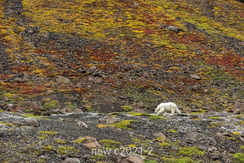 Polar bear in the fall colours