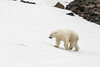 Bear walking up a snowy slope, Vikingebugt Inlet, Scoresby Sund, Greenland