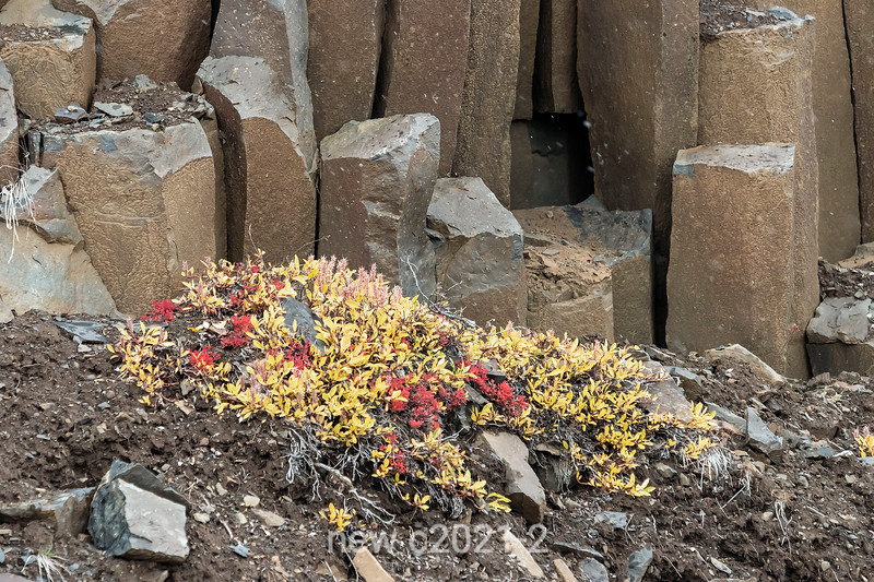 Arctic plants in autumn among columnar basalt, Vikingebugt Inlet, Scoresby Sund, Greenland