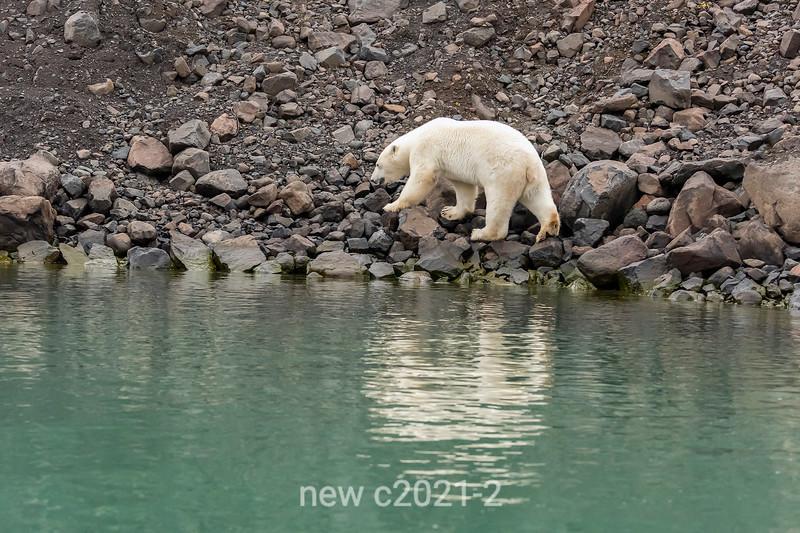 Polar bear on rocky slope with reflections, Vinkingebugt Inlet, Scoresby Sund, Greenland