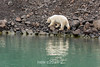 Polar bear on rocky slope with reflections, Vinkingebugt Inlet, Scoresby Sund, Greenland