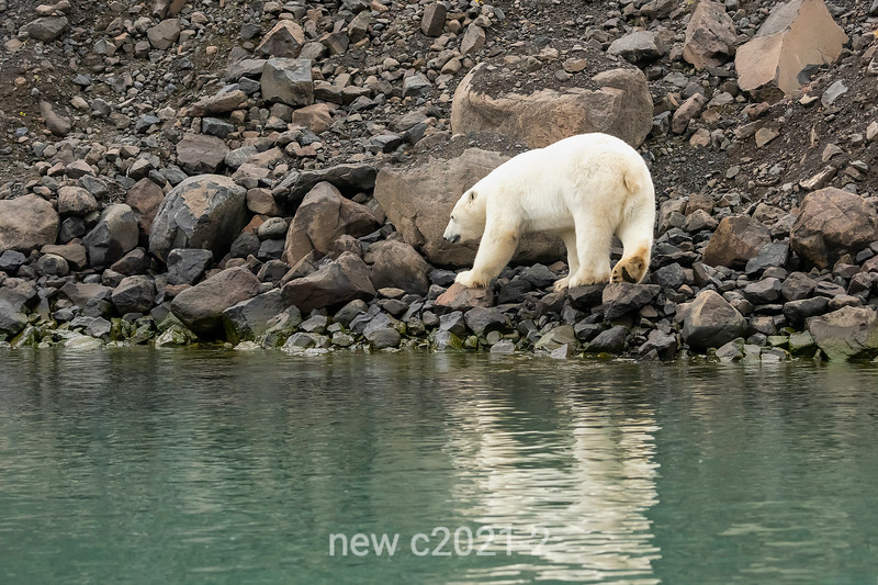Polar bear by water's edge with reflections, Vikingebugt Inlet, Greenland