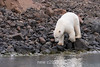 To swim or not to swim, polar bear deciding to enter the water, Vikingebugt Inlet, Scoresby Sund, Greenland