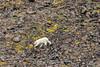 Polar bear walking over the rocky terrain, Vikingebugt, Scoresby Sund, Greenland