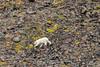 Polar bear walking over the rocky terrain, Vikingebugt, Scoresby Sund, Greenland