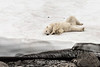 Polar bear rolling itself dry by the edge of a snow field, Vikingebugt Inlet, Scoresby Sund, Greenland - Copy
