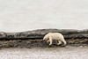 Polar bear dripping water after a swim, Vikikngebugt Inlet, Scoresby Sund, Greenland