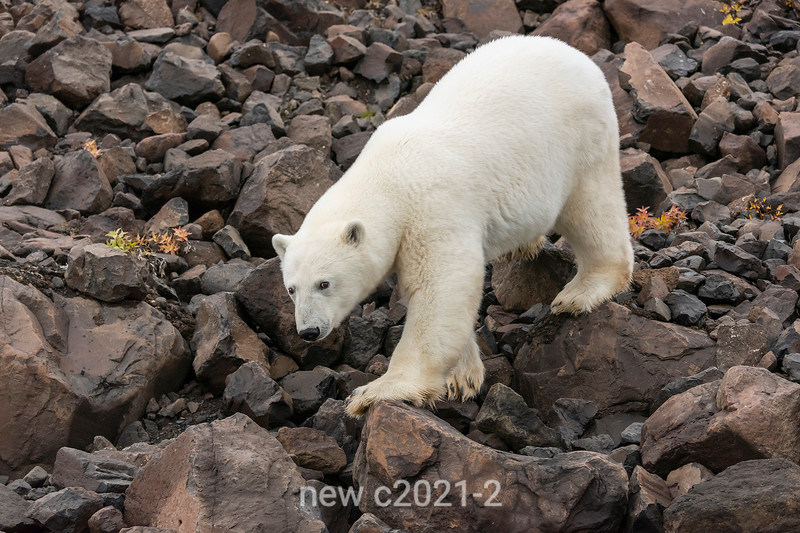 Close-up of polar bear approaching shoreline, Vikingebugt Inlet, Scoresby Sund, Greenland