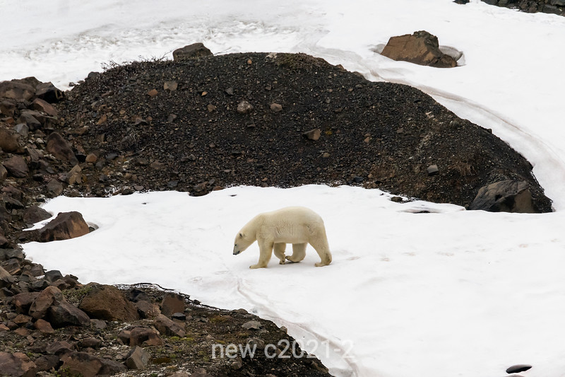 Polar bear on the move