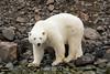 Curious polar bear looking at the camera, Vikinebugt Inlet, Scoresby Sund, Greenland