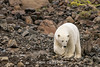 Polar bear on the move over rocky terrain, Vikingebugt Inlet, Scoresby Sund, Greenland