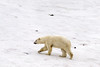 Polar bear walking on a patch of snow, Vikingebugt Inlet, Scoresby Sund, Greenland