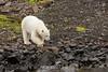 Adult female polar bear approaching the shore, Vikngebugt Inlet, Scoresby Sund, Greenland