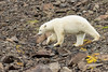 Polar bear moving over rocky terrain with fall plants, Vikingebugt Inlet, Scoresby Sund, Greenland