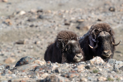 Musk Ox and polar bears are the only land animals of size