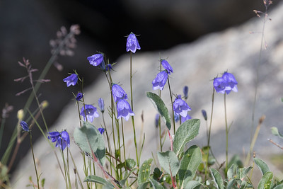 On shore the warmer weather is allowing for more flowers like the Harebell