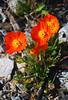 Qaqortoq Poppies