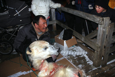 """35 Polar bear hunter. """"Ice bears"""" may only be hunted by native Inuits using dog sleds."""