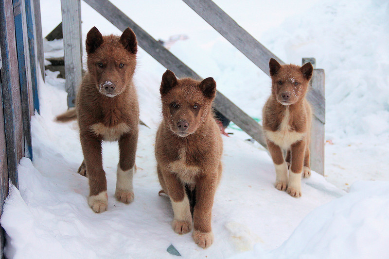 5 Sled dog pups