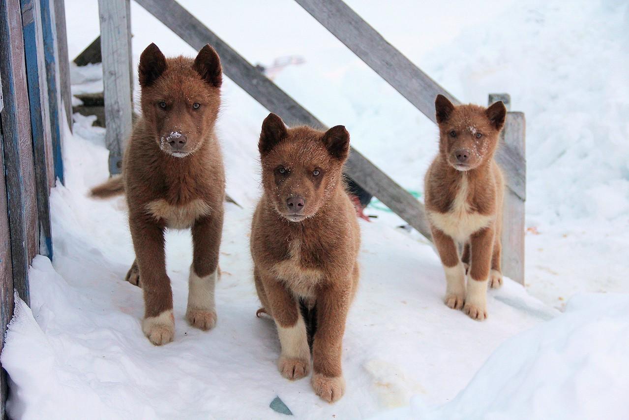 5 Sled dog pups