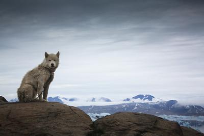 Dog, Greenland