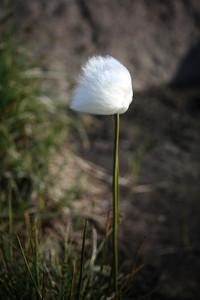 Cottongrass, Greenland