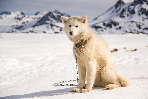 Sledge dog at Kulusuk, East Greenland