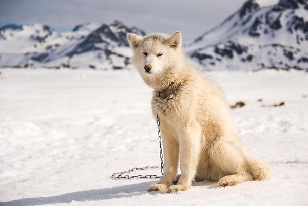 Sledge dog at Kulusuk, East Greenland