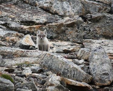 Fox, Greenland