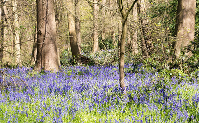 April 20th 2016. Lessness abbey woods Bluebells