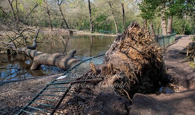 April 11th 2020 Fallen tree at Lessness abbey woods pond