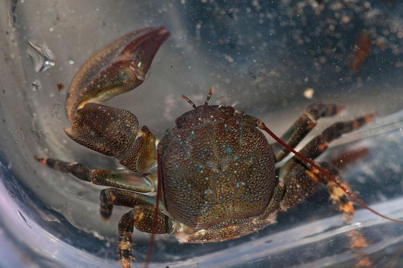 Porcelain Crab.