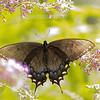 A08 Eastern tiger swallowtail
