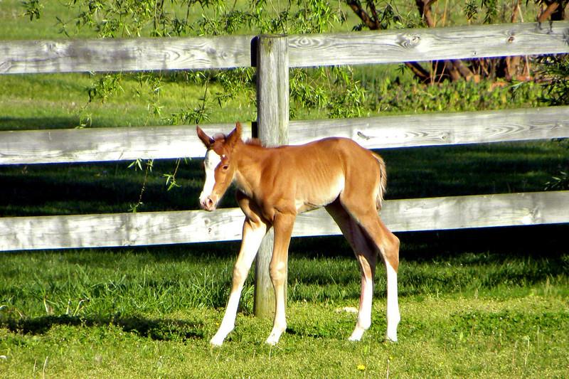 A13 Newborn foal
