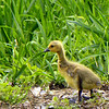 A17 Gosling along Deer Creek