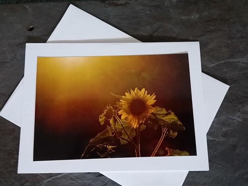 FL25 Sunflower Sunrise