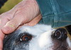 """Purebred Border Collie being petted  <div class=""""ss-paypal-button""""><div class=""""ss-paypal-add-to-cart-section""""><a href=""""https://www.paypal.com/cgi-bin/webscr?cmd=_cart&amp;business=CEURS3M8P2N94&amp;lc=US&amp;item_name=Purebred%20Border%20Collie%20being%20petted&amp;item_number=http%3A%2F%2Fwww.piperspix.com%2FGreeting-Cards-Prints%2FDog-Series%2Fi-DgZTZxD&amp;amount=4.99&amp;currency_code=USD&amp;button_subtype=products&amp;no_note=0&amp;cn=Add%20special%20instructions%20to%20the%20seller%3A&amp;no_shipping=2&amp;shipping=1.50&amp;add=1&amp;bn=PP-ShopCartBF%3Abtn_cart_LG.gif%3ANonHosted&amp;charset=utf-8&amp;submit="""" target=""""paypal"""" class=""""ss-paypal-submit-button""""><img src=""""https://www.paypalobjects.com/en_US/i/btn/btn_cart_LG.gif""""></a></div></div><div class=""""ss-paypal-button-end""""></div>"""