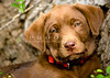 "Purebred Chocolate Labrador Retriever puppy head shot red collar  <div class=""ss-paypal-button""><div class=""ss-paypal-add-to-cart-section""><a href=""https://www.paypal.com/cgi-bin/webscr?cmd=_cart&amp;business=CEURS3M8P2N94&amp;lc=US&amp;item_name=Purebred%20Chocolate%20Labrador%20Retriever%20puppy%20head%20shot%20red%20collar&amp;item_number=http%3A%2F%2Fwww.piperspix.com%2FGreeting-Cards-Prints%2FDog-Series%2Fi-HhRNmFL&amp;amount=4.99&amp;currency_code=USD&amp;button_subtype=products&amp;no_note=0&amp;cn=Add%20special%20instructions%20to%20the%20seller%3A&amp;no_shipping=2&amp;shipping=1.50&amp;add=1&amp;bn=PP-ShopCartBF%3Abtn_cart_LG.gif%3ANonHosted&amp;charset=utf-8&amp;submit="" target=""paypal"" class=""ss-paypal-submit-button""><img src=""https://www.paypalobjects.com/en_US/i/btn/btn_cart_LG.gif""></a></div></div><div class=""ss-paypal-button-end""></div>"