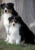 """Purebred  Australian Shepherd  <div class=""""ss-paypal-button""""><div class=""""ss-paypal-add-to-cart-section""""><a href=""""https://www.paypal.com/cgi-bin/webscr?cmd=_cart&amp;business=CEURS3M8P2N94&amp;lc=US&amp;item_name=Purebred%20%20Australian%20Shepherd&amp;item_number=http%3A%2F%2Fwww.piperspix.com%2FGreeting-Cards-Prints%2FDog-Series%2Fi-pSvgzvj&amp;amount=4.99&amp;currency_code=USD&amp;button_subtype=products&amp;no_note=0&amp;cn=Add%20special%20instructions%20to%20the%20seller%3A&amp;no_shipping=2&amp;shipping=1.50&amp;add=1&amp;bn=PP-ShopCartBF%3Abtn_cart_LG.gif%3ANonHosted&amp;charset=utf-8&amp;submit="""" target=""""paypal"""" class=""""ss-paypal-submit-button""""><img src=""""https://www.paypalobjects.com/en_US/i/btn/btn_cart_LG.gif""""></a></div></div><div class=""""ss-paypal-button-end""""></div>"""