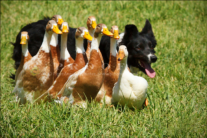 0566_Duck Delivery