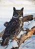 7491  Great Horned Owl