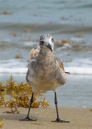 Curious Gull 472