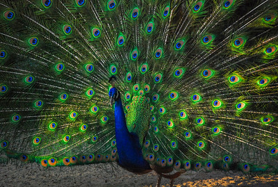"""Peacock On Display""  (#AN109)"