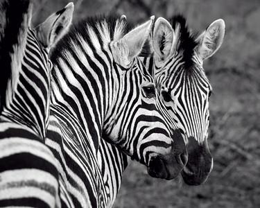 """Zebras Unmasked""  (#AN122)"