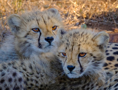 """Cheetah Cubs"" (#AN101)"