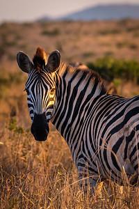 Zebra In The Morning Sun