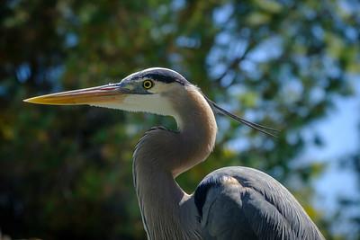 """Great Blue Heron""  (#AN104)"